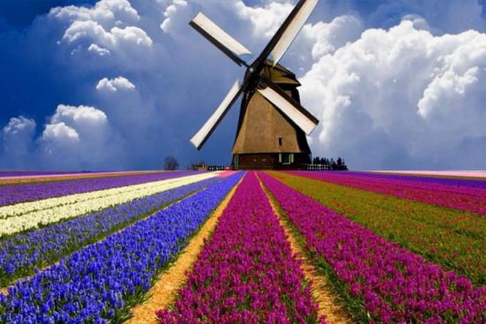 Как цветут тюльпаны в Голландии