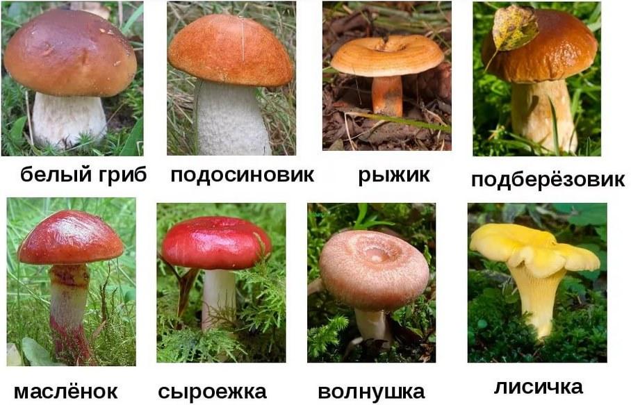 фото и названия всех видов грибов они
